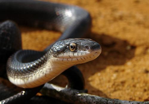 File:Sunlit Snake.jpg