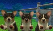 Tri corgis