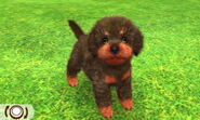 Blackred poodle