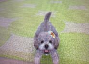 Toy poodle with a hibiscus flower
