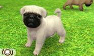White pug