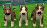 ShortBullTerrier