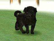 Blackpug