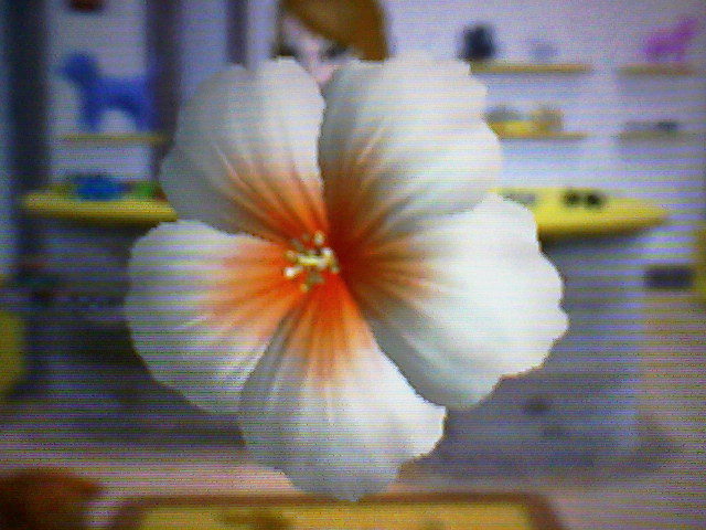 File:Whitehibiscus.jpg