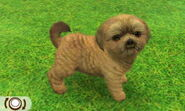 Brownshihtzu