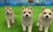 Agouti huskies