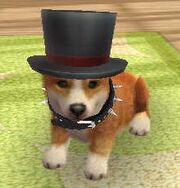 Corgi black top hat