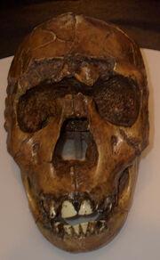 Homo ergaster2