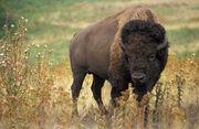 American bison k5680-1-1-