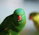 Pocky The Evil Parrot