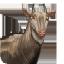 Great Eland