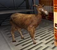Goat nolf1