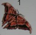 Shaggywing (Comsosptero)