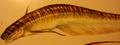 Rapanatrix wootteni