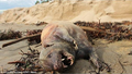 Santa Barbara Carcass