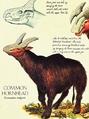 Common Hornhead