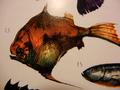 Ghoulfish (Idolonichthys ferrugo)