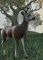 Deer (Elder Scrolls)