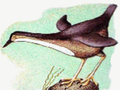 Long-Necked Dipper