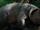 Super Pig (Okja)