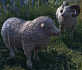 Sheep (Elder Scrolls)