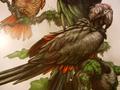 Great Carrion Parrot (Caropsitticus maximus)