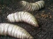 Mutated Maggot