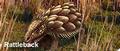 South American Rattleback