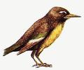 Parops Lepidorostrus