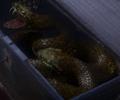 Agrabahn Viper