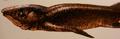 Panderichthys malus