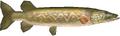 Hylian Pike