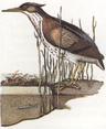 Angler Heron