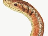 Species Gallery (P)