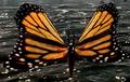 Monarch Butterfly (Elder Scrolls)