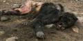 Brazilian Werewolf
