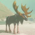 Tabantha Moose