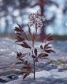 Medicinal Fresh Salvebrush