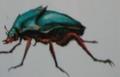 Jewelbug (Chrysidicimex tobin)