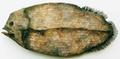 Sandalfish