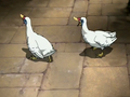 Turkey Duck