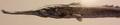 Javelin (Aclys festinus)
