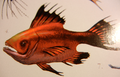 Bloodfish (Sanguichthys rufus)