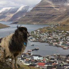Farerska owca podziwiająca krajobraz Borðoy