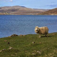 Fareska owca nad jeziorem <a class=