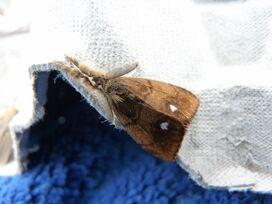 Orgyia antiqua - Vapourer (male)