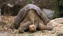 800px-Lonesome George -Pinta giant tortoise -Santa Cruz