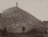 767px-Bison skull pile edit