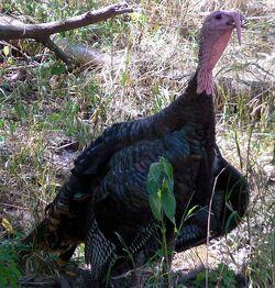 572px-Meleagris gallopavo Wild Turkey