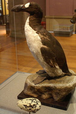 399px-Great Auk (Pinguinis impennis) specimen, Kelvingrove, Glasgow - geograph.org.uk - 1108249